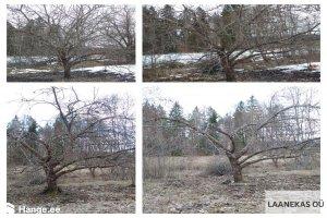 LAANEKAS OÜ LAANEKAS, Puude lõikus, puude hooldamine, viljapuude lõikus